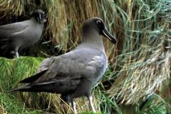 Sootie Albatross
