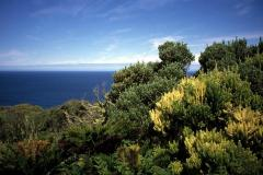 Tree Phylica