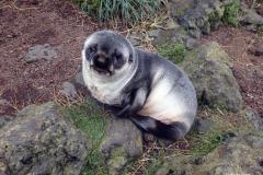 Sub-Antarctic Fur Seal Pup