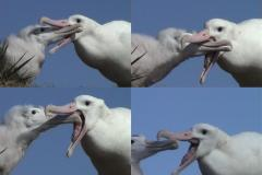 Wandering Albatross and Chick