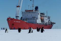 Adelie Penguins and S.A. Agulhas