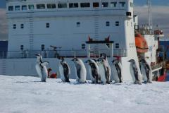 Emperor Penguin Chicks and S.A. Agulahs