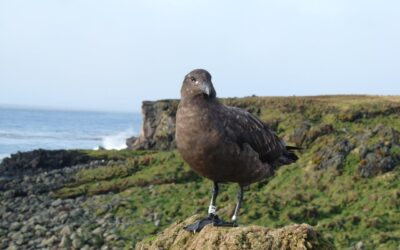 Science Month- SANAP projects: Avian scavengers as indicators of recovery of an island biota.